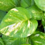 pothos-plants